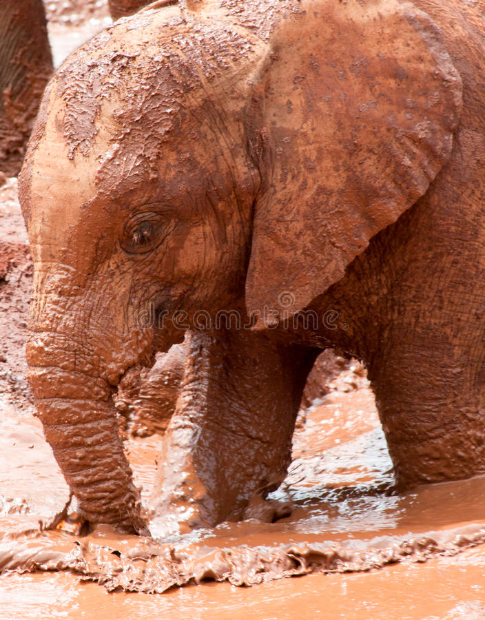 Free Young Elephant Walking In Muddy Water Royalty Free Stock Photos - 93618278