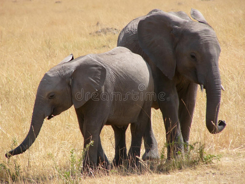 Young Elephants Royalty Free Stock Photos