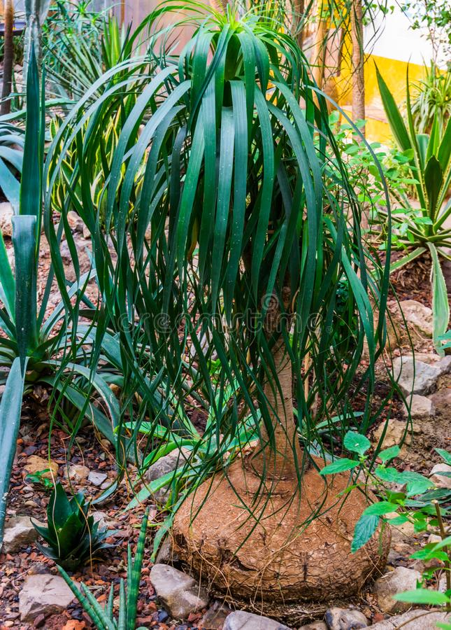 Young elephants foot plant in a tropical garden, popular garden and houseplant, ornamental trees royalty free stock photo