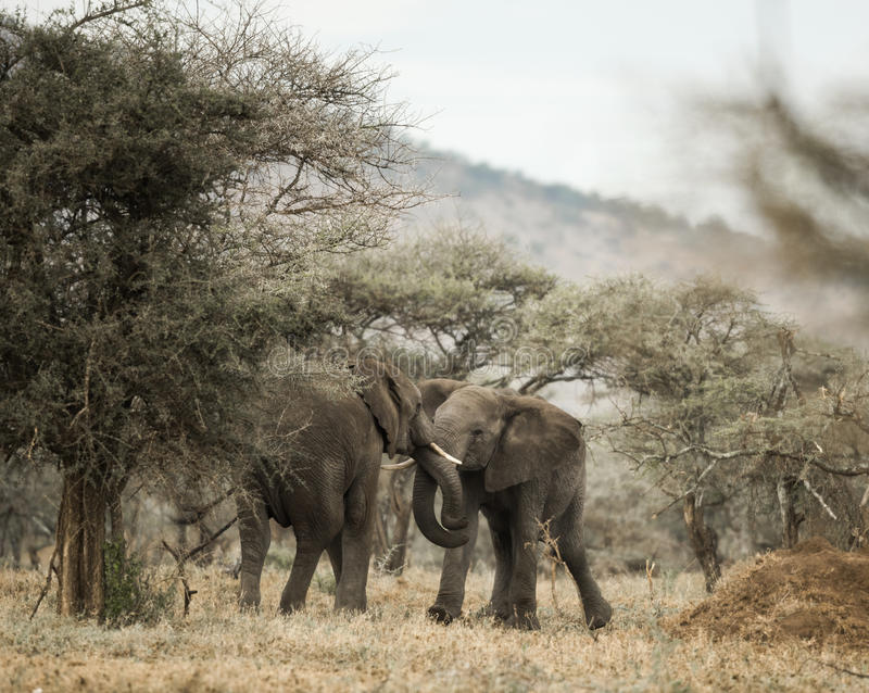 Young elephants playing, Serengeti, Tanzania stock photography