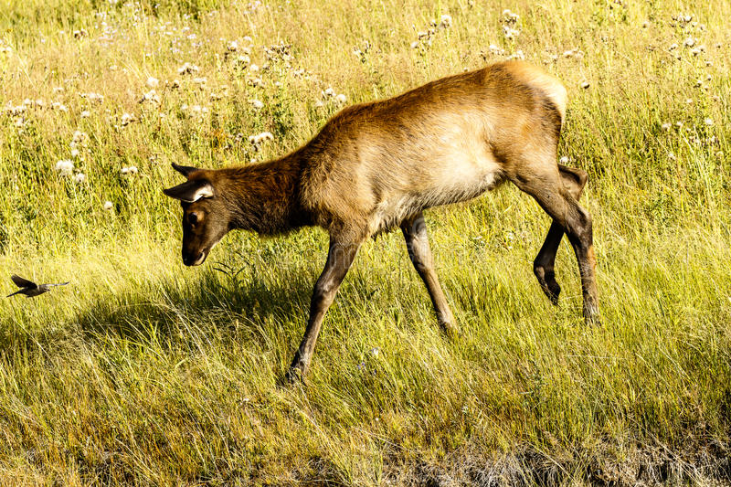 Young Elk With Bird royalty free stock photography