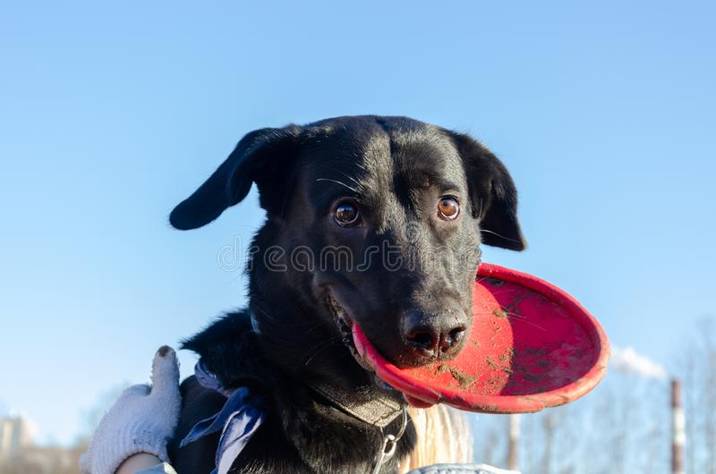 Young energetic half-breed dog walks. How to protect your pet from hyperthermia. Summer activity stock images