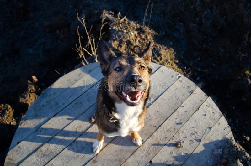 Young energetic half-breed dog walks. How to protect your pet from hyperthermia. Summer activity stock photo