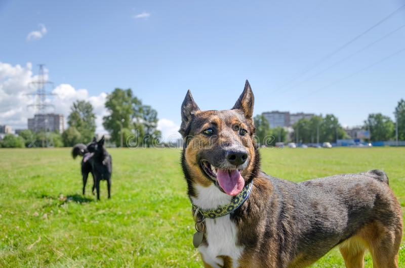 Young energetic half-breed dog walks in the meadow. How to protect your pet from hyperthermia. Summer activity royalty free stock image