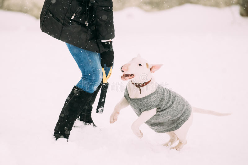Young English Bull Terrier Bullterrier Puppy Dog Playing Outdoor stock images