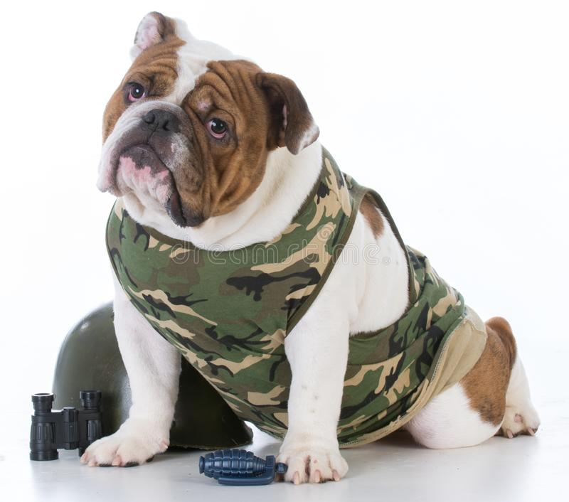 Cute fighting dog. Young english bulldog dressed in army fatigues isolated on white background royalty free stock photos