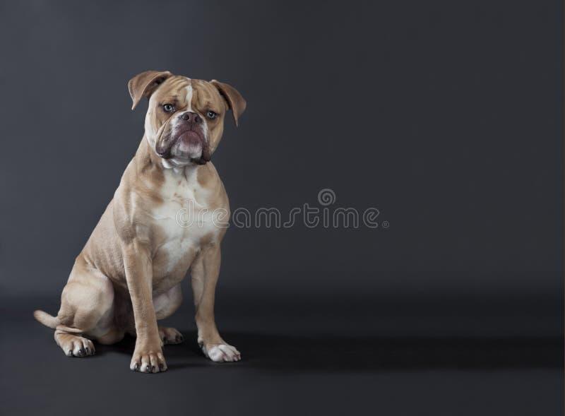 English bulldog sitting stock images