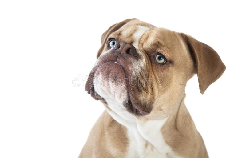 Olde english bulldog head cut out royalty free stock image