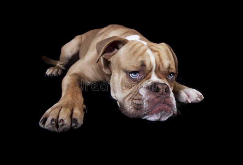 English bulldog lying down stock photos
