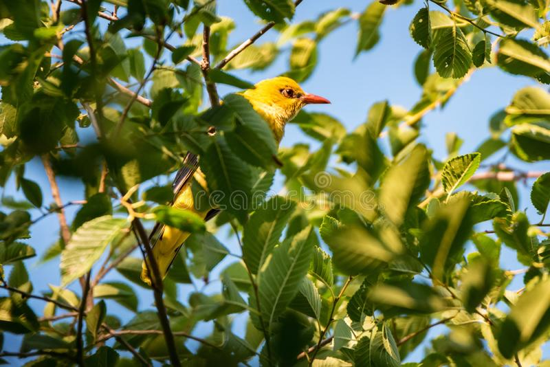 Young Eurasian Golden Oriole or Oriolus oriolus on tree branch stock photography