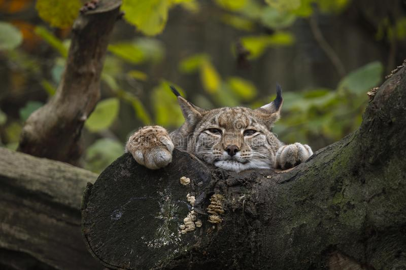 A young Eurasian lynx. The lynx Eurasian, a young, predator, wide cat, mammal and child of animals at the Duisburg city in the Germany in the zoological garden royalty free stock photos