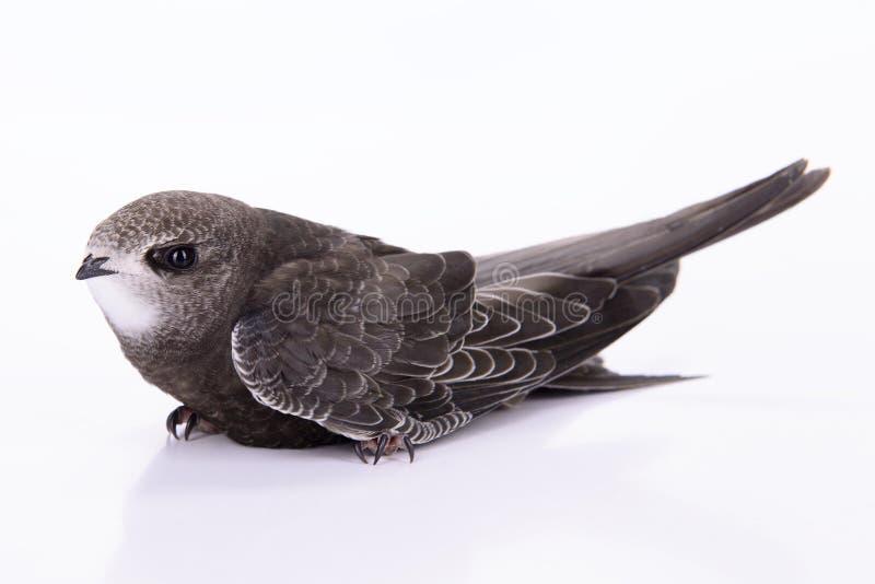 Young Eurasian Swift stock image