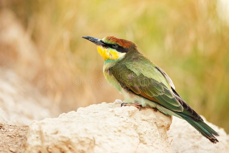Young European bee-eater Merops apiaster sitting on the sand royalty free stock images