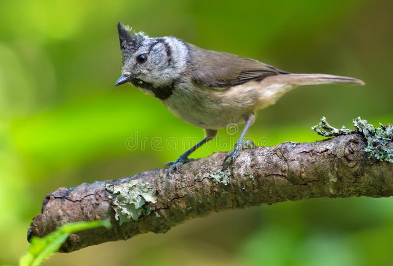 Young European Crested Tit stands alerted on an aged covered stick in the woods stock photos