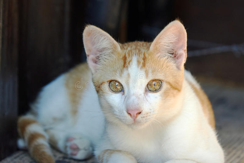 Young European ginger cat royalty free stock photography