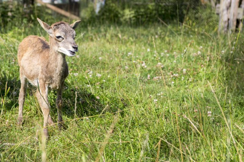 Young european mouflon animal on green meadow with grass royalty free stock photo