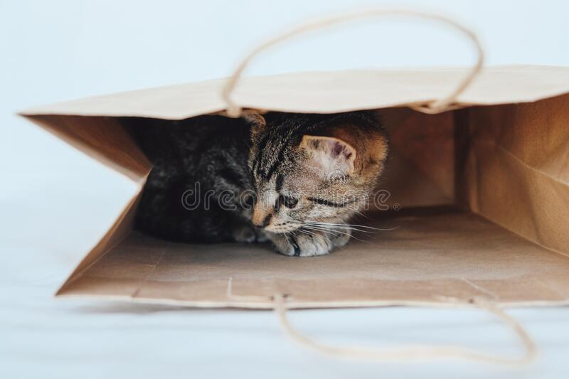 Young European Shorthair cat playing and hiding in a paper bag. Mackerel tabby coat color. Cute little playful kitten royalty free stock photo