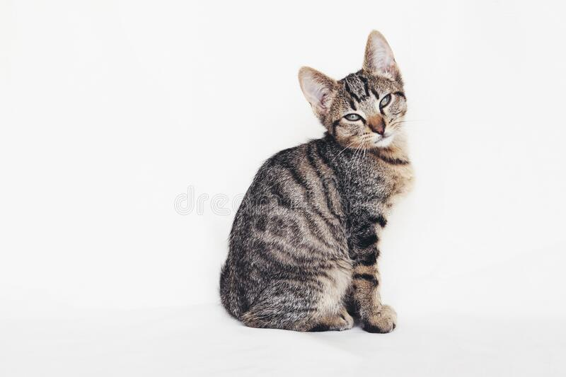 Young European Shorthair cat sitting on white background. Copy space. Mackerel tabby coat color. Cute little kitten looking at you royalty free stock photos