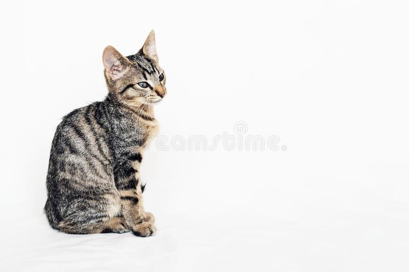 Young European Shorthair cat sitting on white background. Space for text. Mackerel tabby coat color. Cute little kitten royalty free stock photos