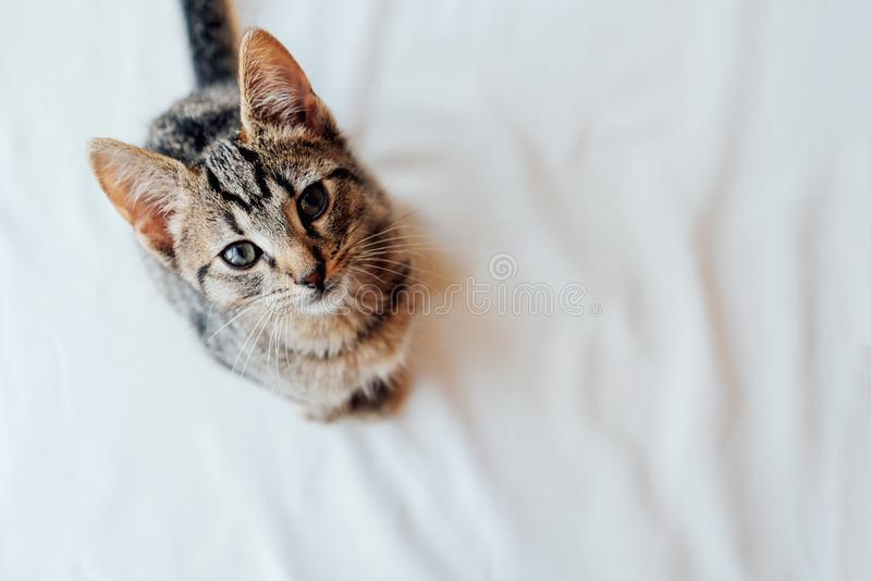 Young European Shorthair cat sitting on white background. Young European Shorthair cat sitting on white background, top view. Copy space. Mackerel tabby coat stock photos