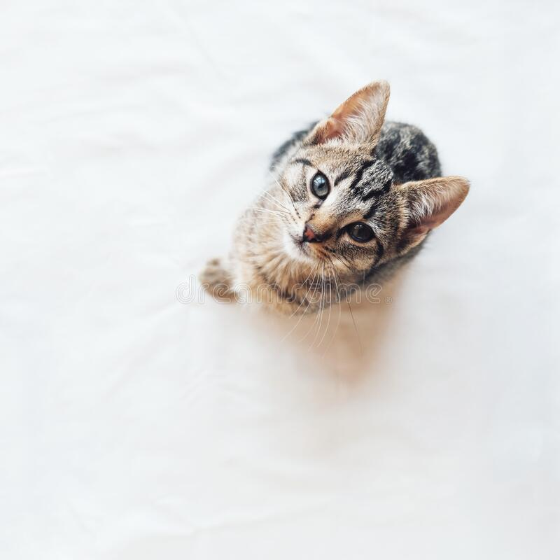 Young European Shorthair cat sitting on white background, top view. Space for text. Mackerel tabby coat color. Cute little kitten looking at you stock images