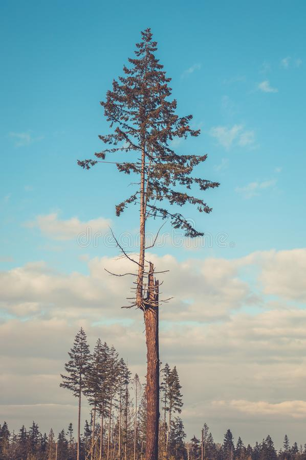 A young evergreen. Fir tree grows from the trunk of an older dead tree royalty free stock photo
