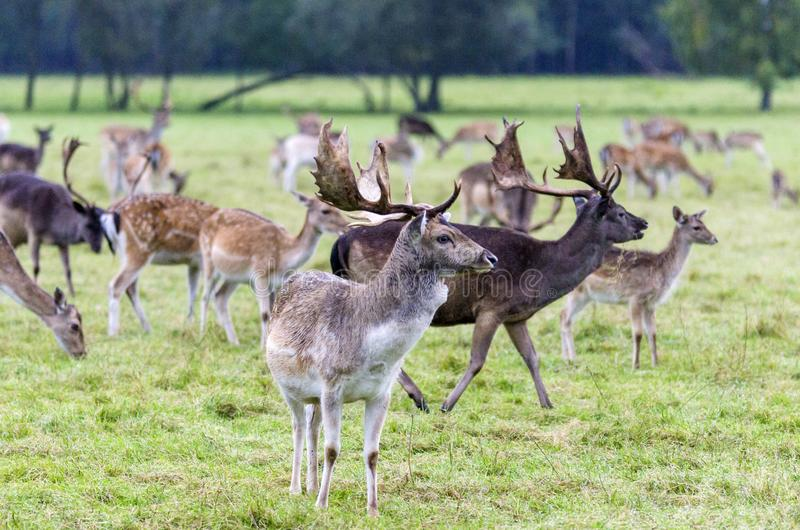 Young fallow deers. On a meadow royalty free stock photography