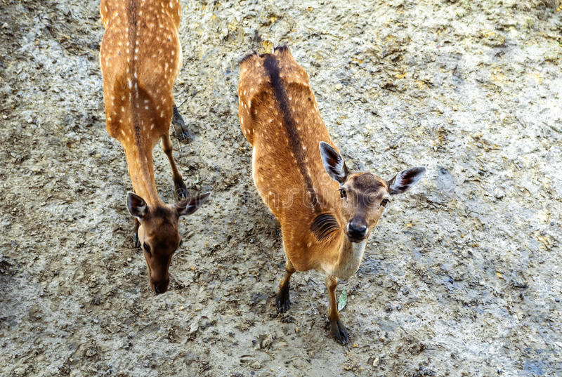 Young fallow deers royalty free stock photo