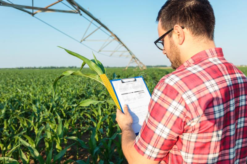 Young farmer or agronomist measuring green corn plant stem with a ruler, writing data into a questionnaire stock photo