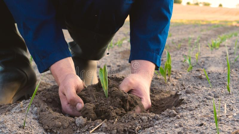 A young farmer in a blue robe is planting a small green sprout, on a field in nature. Concept: clean air, bio, agriculture, freedo. M, food, new life stock photography