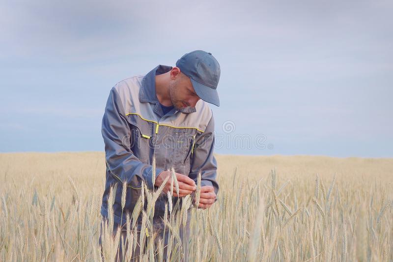 A young farmer checks the plants in a rye field. copy space stock images