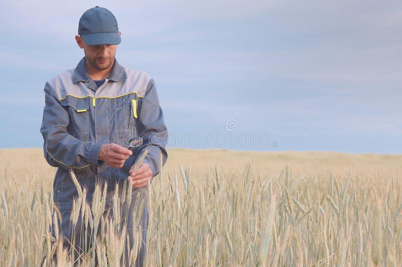 A young farmer checks the plants in a rye field. copy space royalty free stock photography