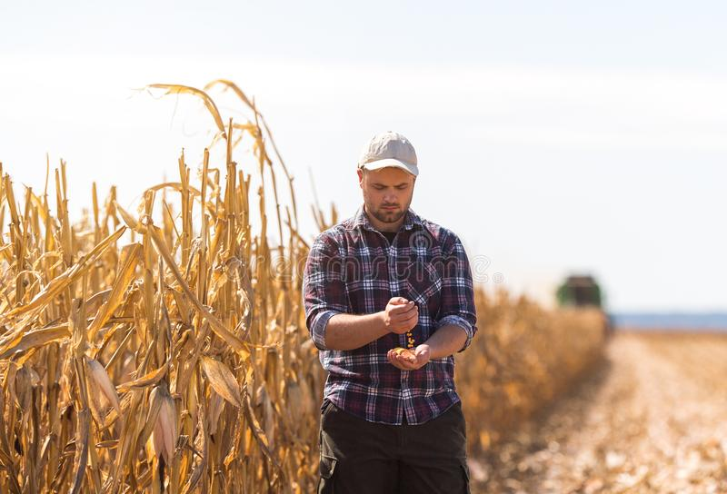 Farmer in corn fields during harvest royalty free stock photos
