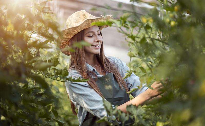 Farmer Girl in Straw Hat Inspecting Tomatoes stock image