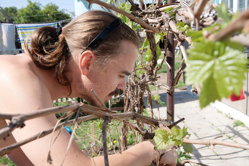 Young farmer harvesting and gardening grape royalty free stock photo