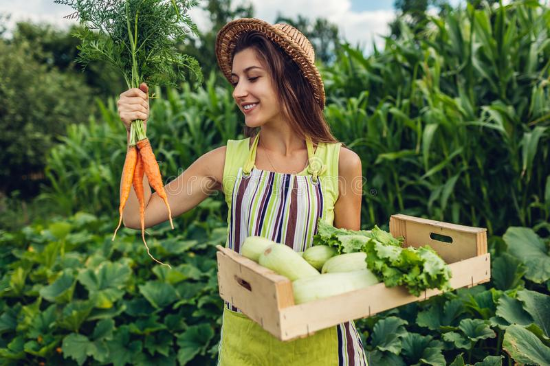 Young farmer holding carrots and wooden box filled with fresh vegetables. Woman gathered summer crop. Gardening stock images