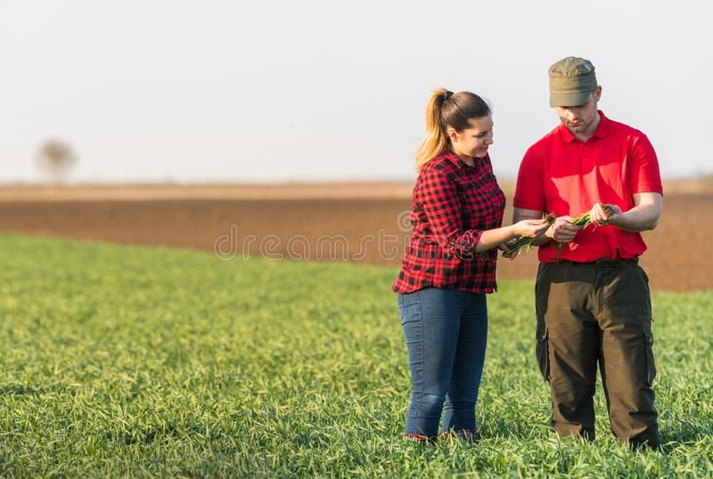 Young farmers examing planted wheat fields royalty free stock photos