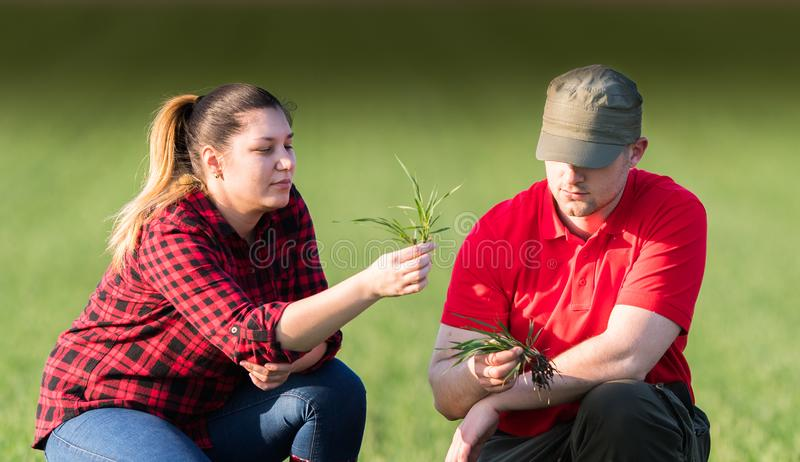 Young farmers examing planted wheat fields royalty free stock photography