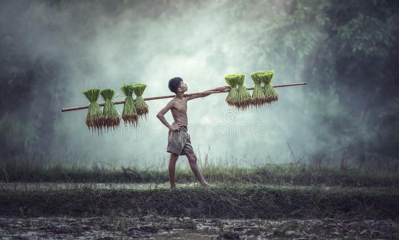 Young Farmers grow rice in the rainy season. They were soaked with water and mud to be prepared for planting. wait three months to harvest crops royalty free stock images