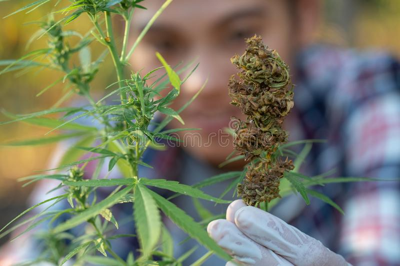Young farmers wear gloves to check marijuana trees. Concept of herbal alternative medicine stock photo