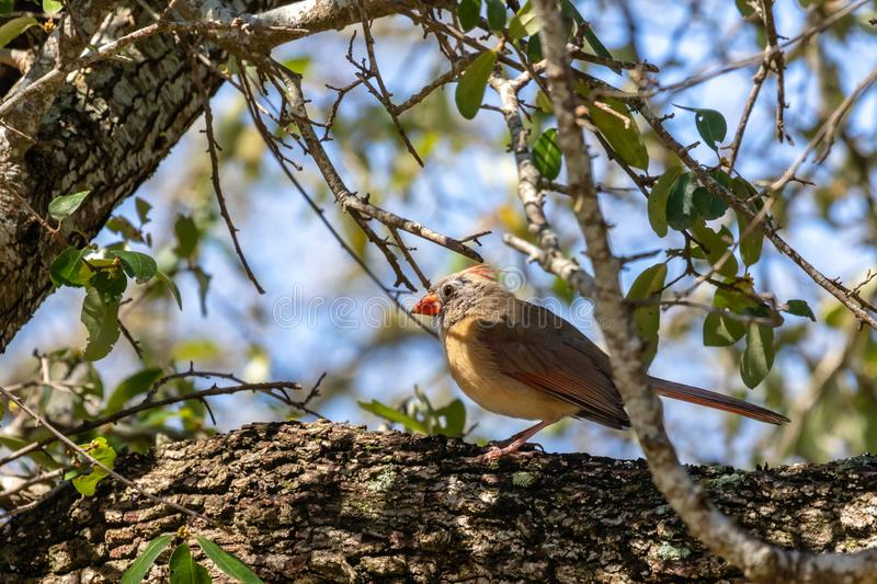 Female cardinal on a tree limb. Young female cardinal resting on the tree limb with a bright orange beak stock image