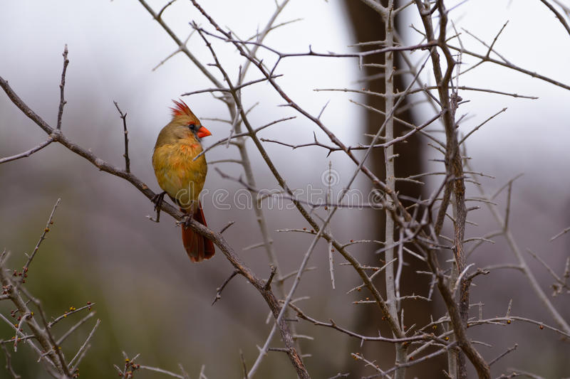 Young Female Cardinal stock image
