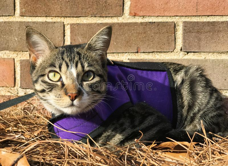 Young Female Cat Wearing a Harness and a Leash royalty free stock photo