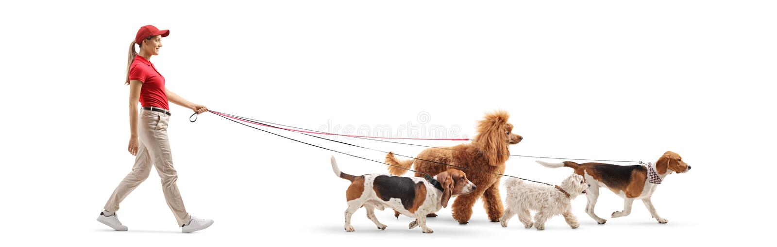 Young female dog walker with four dogs stock images