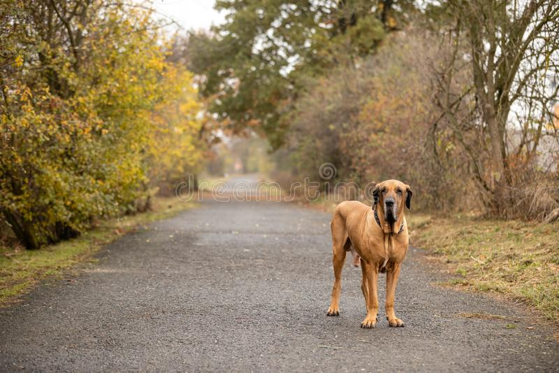 Young female of Fila Brasileiro or Brazilian Mastiff in autumn park. Europe stock image