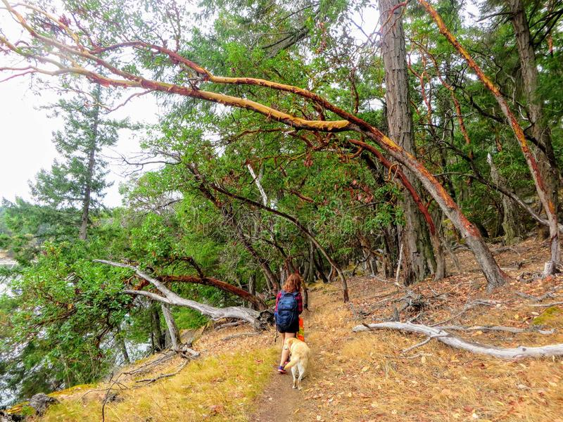 A young female hiker walking with her yellow lab through a forest of arbutus trees in the gulf islands, british columbia, Canada. royalty free stock image
