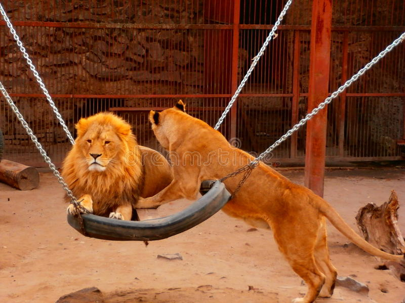 Young female lion flirts to their male stock image