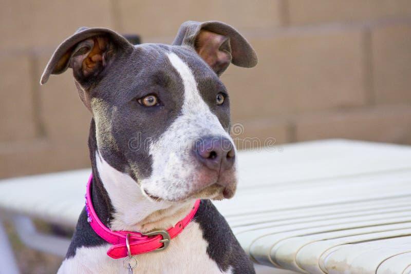 Young female pitbull stock image