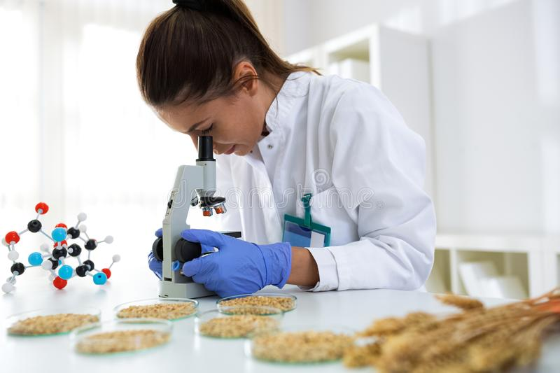 Young female scientist inspecting quality wheat royalty free stock images