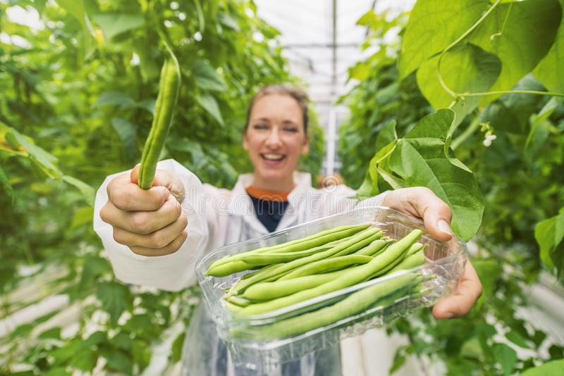 Picking fresh, ripe beans in a greenhouse royalty free stock photography